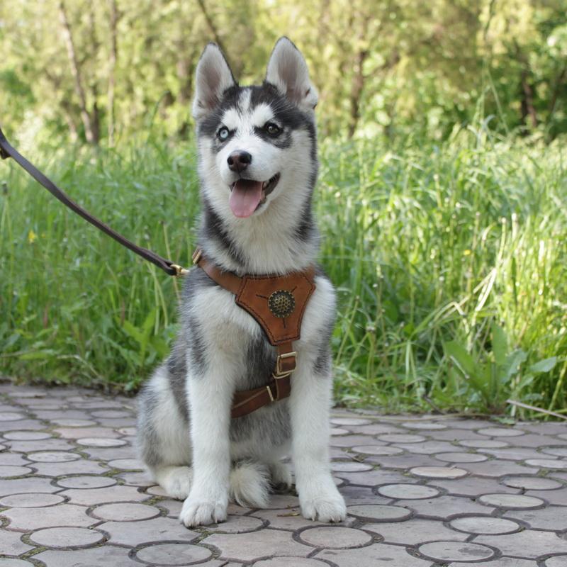 arnes para perros husky